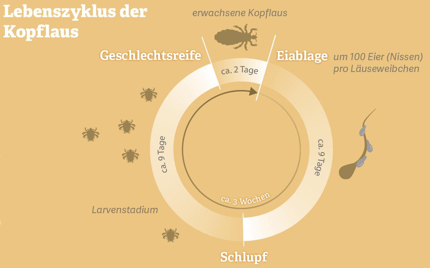 Grafik: Lebenszyklus der Kopflaus.